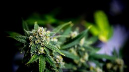 chapmans-limited-medicinal-marijuana